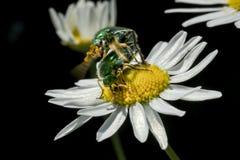 Escarabajo verde de dos izumrud que se acopla en manzanilla imagen de archivo libre de regalías