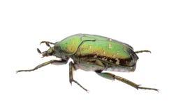 Escarabajo verde de la flor foto de archivo libre de regalías