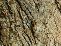 Escarabajo verde de oro dos en tronco de árbol fotos de archivo