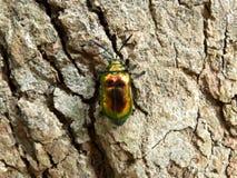 Escarabajo verde de oro en tronco de árbol imagenes de archivo