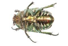 Escarabajo verde del insecto fotos de archivo