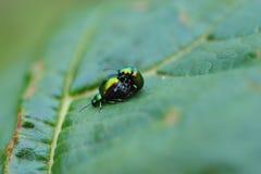 Escarabajo verde del muelle en el acoplamiento Imagen de archivo libre de regalías