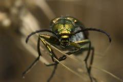 Escarabajo verde en hierba en verano imagen de archivo