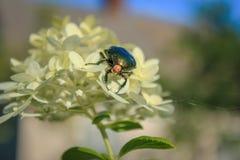 Escarabajo verde en la flor blanca fotografía de archivo libre de regalías