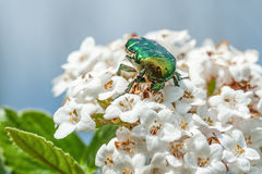 Escarabajo verde en la flor del viburnum Foto de archivo libre de regalías