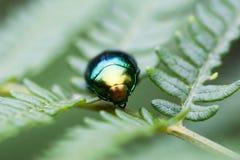 Escarabajo verde en la hoja en macro Imágenes de archivo libres de regalías