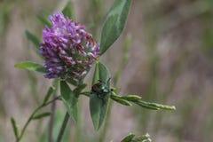 Escarabajo verde en la planta del cardo Fotos de archivo libres de regalías