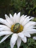 Escarabajo verde en una flor blanca en el jardín fotos de archivo libres de regalías