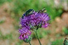 Escarabajo verde y una abeja en un cardo rosado Fotografía de archivo