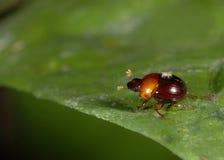 Escarabajo y ácaro de estiércol Fotos de archivo libres de regalías