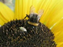 Escarabajo y abeja en el girasol Imagen de archivo libre de regalías