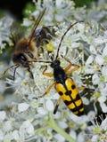 Escarabajo y abeja en el girasol Fotos de archivo
