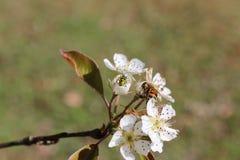 Escarabajo y Honey Bee del pepino Fotografía de archivo