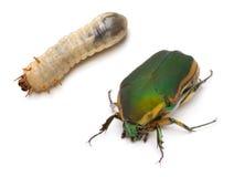 Escarabajo y larva fotos de archivo