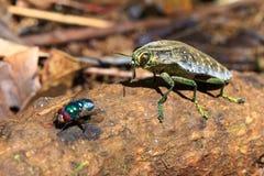 Escarabajo y mosca de la joya Imágenes de archivo libres de regalías