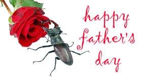 Escarabajo y rosa hermosa del rojo aislados en blanco Día feliz del ` s del padre fotos de archivo