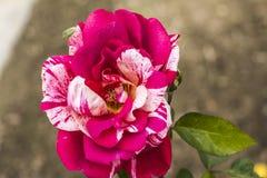 Escarabajo y Rose imagen de archivo libre de regalías