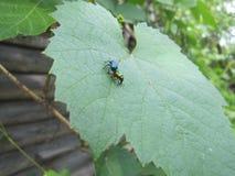 escarabajos Ñ… Ñ… Ñ… Imagen de archivo