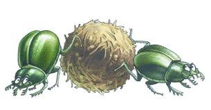 Escarabajos Fotos de archivo