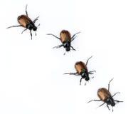 Escarabajos Imágenes de archivo libres de regalías
