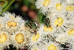 Escarabajos australianos del Fiddler en los flores del gumtree Fotografía de archivo