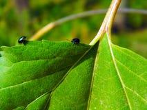 Escarabajos azules Foto de archivo