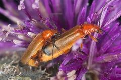 Escarabajos de acoplamiento del soldado, fulva de Rhagium Fotografía de archivo libre de regalías