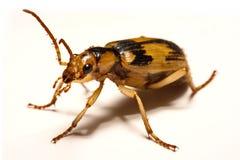 Escarabajos de bombardero en un fondo liso fotos de archivo libres de regalías