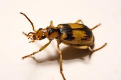Escarabajos de bombardero en un fondo liso Imagenes de archivo