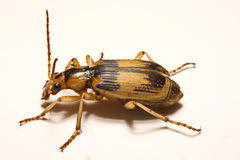 Escarabajos de bombardero en un fondo liso Fotografía de archivo libre de regalías