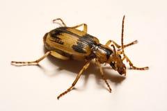 Escarabajos de bombardero en un fondo liso Imagen de archivo