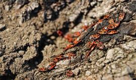 Escarabajos de corteza Fotos de archivo libres de regalías