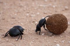 Escarabajos de estiércol Fotos de archivo