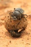 Escarabajos de estiércol Imagen de archivo libre de regalías
