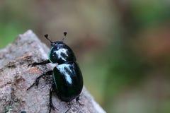 Escarabajos de estiércol Foto de archivo