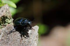 Escarabajos de estiércol Imágenes de archivo libres de regalías