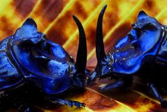Escarabajos de estiércol de la lucha Foto de archivo libre de regalías
