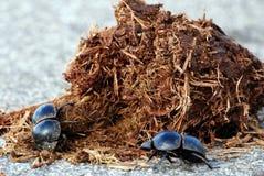 Escarabajos de estiércol en el trabajo Imágenes de archivo libres de regalías