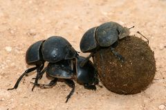 Escarabajos de estiércol Flightless Fotos de archivo libres de regalías