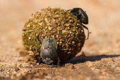 Escarabajos de estiércol que ruedan su bola con los huevos dentro Fotografía de archivo