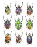 Escarabajos de la flor en el fondo blanco ilustración del vector