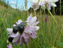 Escarabajos de la luciérnaga en las flores blanco-púrpuras foto de archivo libre de regalías