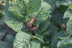 Escarabajos de la patata Imágenes de archivo libres de regalías