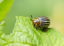 Escarabajos de la patata en la patata Imagenes de archivo