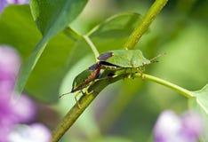 Escarabajos de Lonving Fotografía de archivo libre de regalías