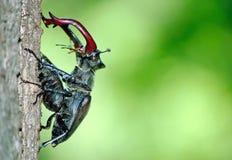 Escarabajos de macho en los escarabajos del roble de un macho del bosque que se sientan en un tronco del roble pares de escarabaj imágenes de archivo libres de regalías