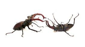 Escarabajos de macho que luchan Fotografía de archivo libre de regalías