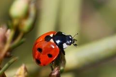 Escarabajos de mariquita Imágenes de archivo libres de regalías