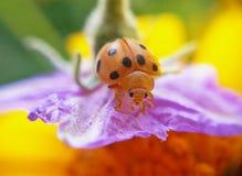 Escarabajos de mariquita Fotografía de archivo