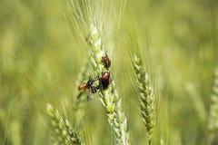 Escarabajos de mayo Fotografía de archivo